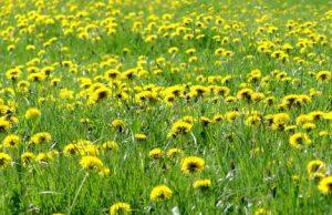 dandelions-Morris